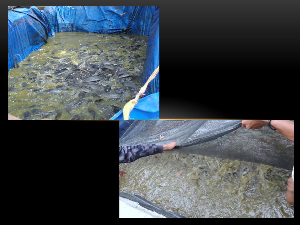 Cara Budidaya Ikan Lele, Bagi Pemula Yang Masih Awam ...